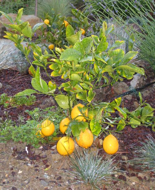 Dwarf Meyer Lemon Bush Perfect Tiny Gardens Eden Makers