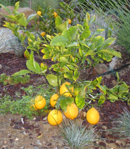 meyer-lemon-shrub1.jpg