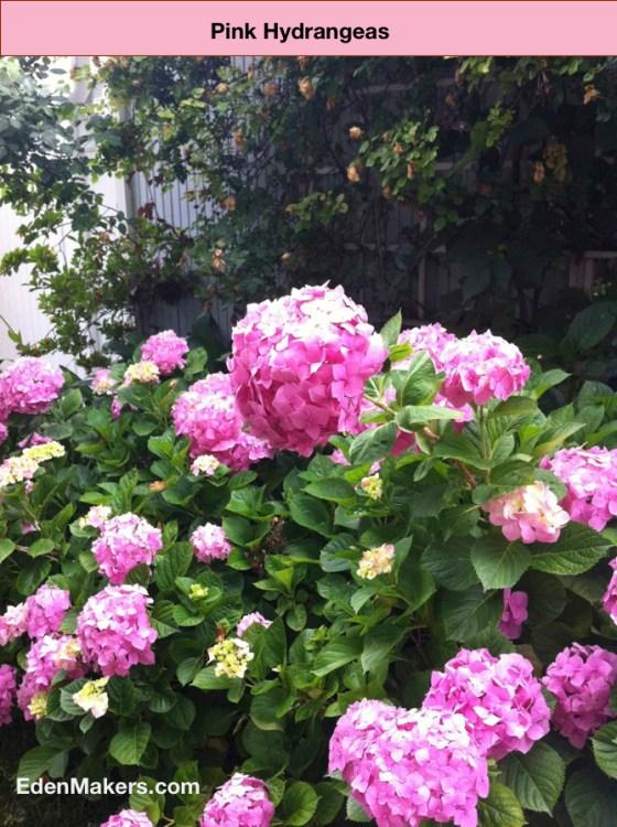 Pink-hydrangea-bush-edenmakers