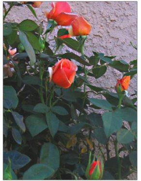 nancy-reagan-rose.jpg