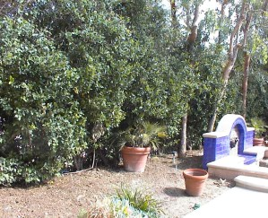 tall mature privacy hedge