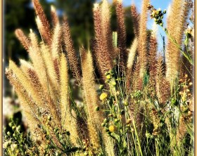 red fountain grass in bloom with gold and red plumes