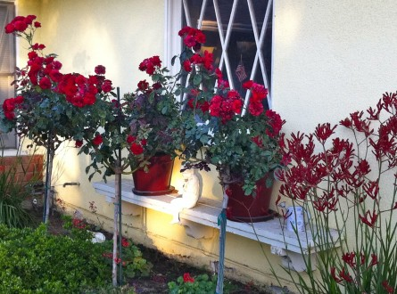 red tree roses and red kangaroo paws
