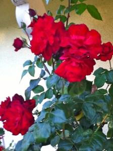 Europeana rose in bloom