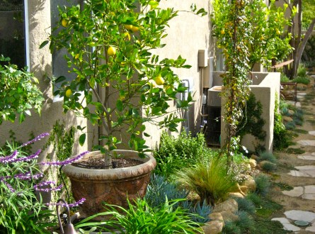 Dwarf citrus trees planted in containers within the small garden bed