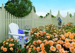 Flower-Carpet-Amber-roses-in-bloom
