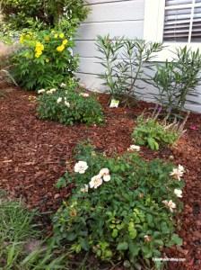 Flower-Carpet-Rose_Home-and-Family