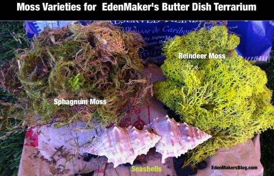 Sphagnum-moss-reindeer-moss-sea-shells-for a butter dish terrarium by edenmakersblog
