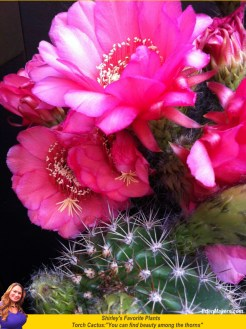 Torch cactus pink flower among a heavy thorn plant