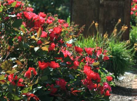 Red-knock-out-rose-hedge