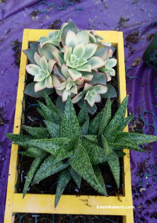 yellow-aeonium-haworthia-succulents-in-yellow-wood-crate-vertical-planter-edenmakers