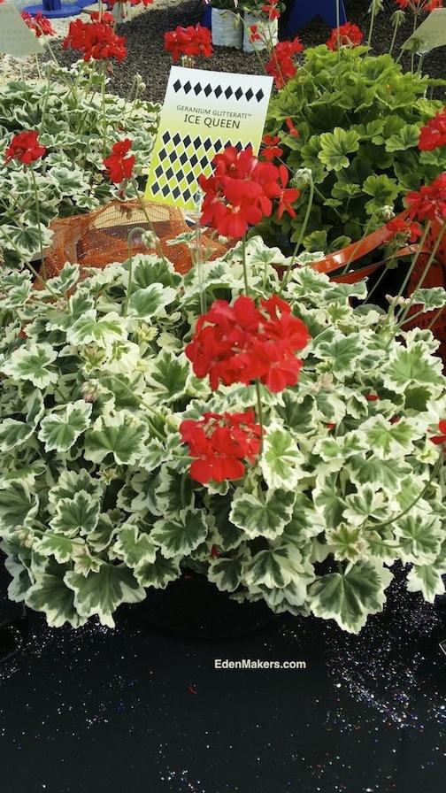 geranium-glitterati-ice-queen-orange-red-flower-hort-couture