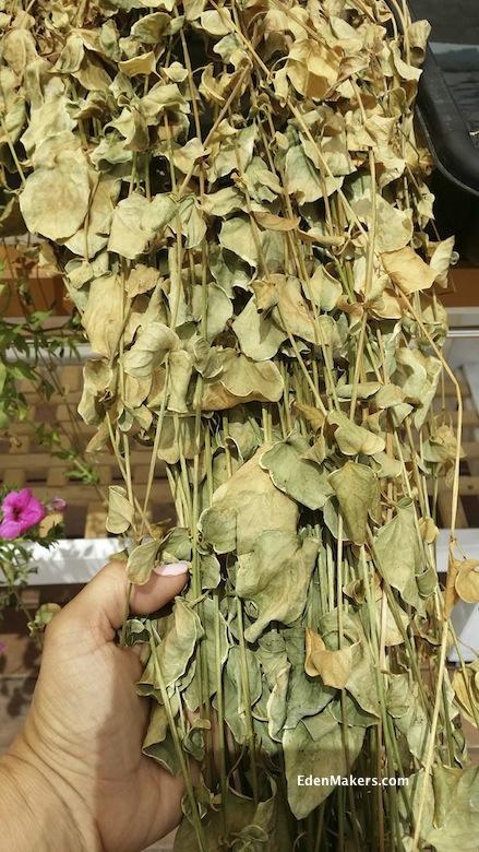 DRY PARCHED VINE PLANT EDENMAKERS.com
