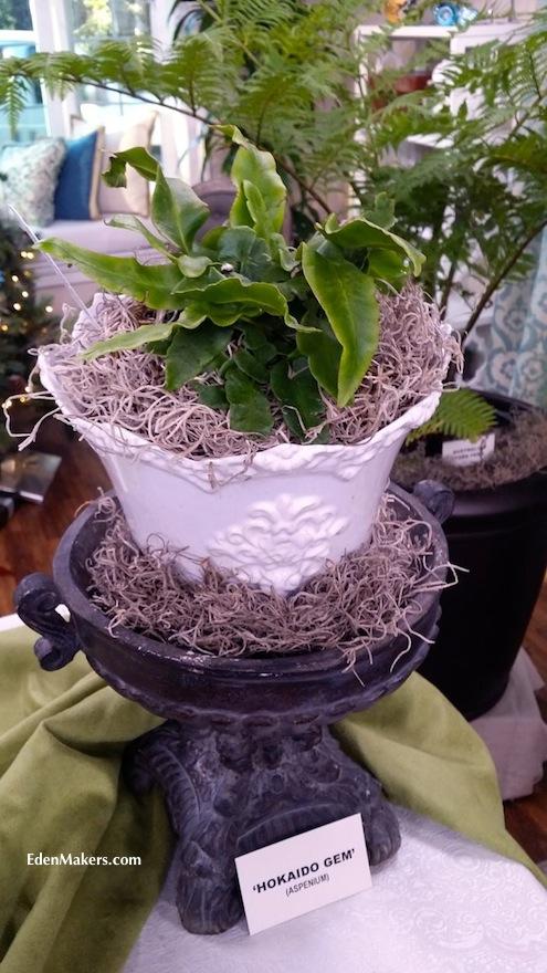 Hokaido-gem-asplenium-fern-plant-delights-shirley-bovshow-antique-white-planter-black pedestal-edenmakers-blog