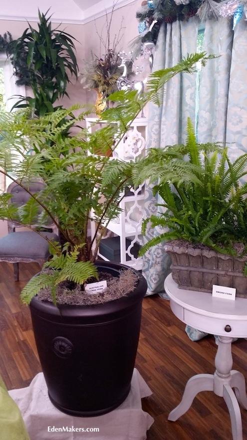 australian-tree-fern-cyathea-cooperi-bronze-container-sword-fern-display-shirley-bovshow-edenmakers-blog