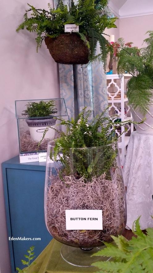 fern-display-hanging-boston-fern-terrarium-button-fern-leatherleaf-fern-edenmakers-blog