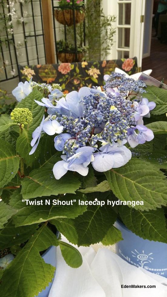 lacecap-hydrangea-reblooming-twist-and-shout-endless-summer-edenmakers-blog