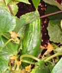 Cucumber growing on the vine from Shirley Bovshow's garden