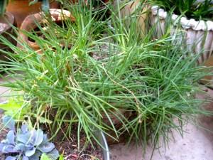 overgrown bulbine frutescens plant