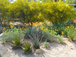native low water plant front-garden with orange california poppies