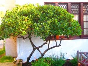 hawthorne bush transformed to small tree