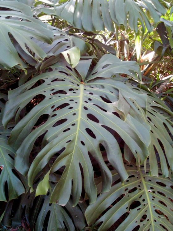 monstera plant tropical giant
