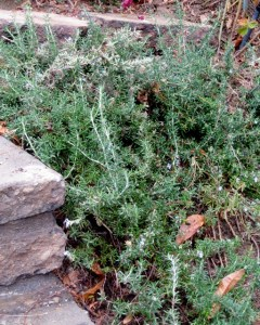 rosemary plant prostrate