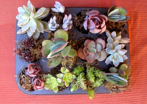 succulent planter muffin pan