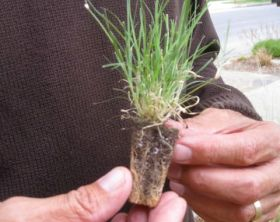 uc-verde-lawn plug is a drought tolerant buffalo grass