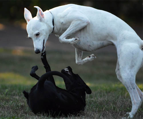 doggie-yingyang