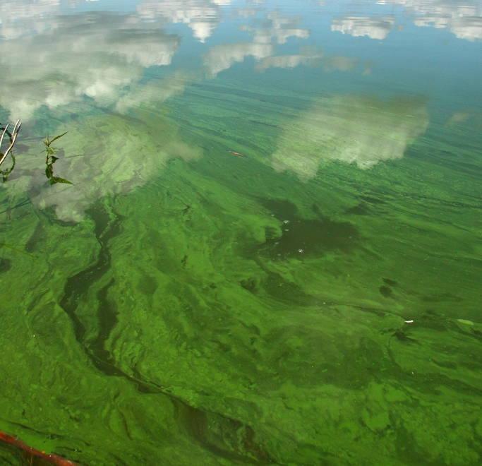 Algae Bloom at Fish Lake, WI. Photo by David H. Thompson.