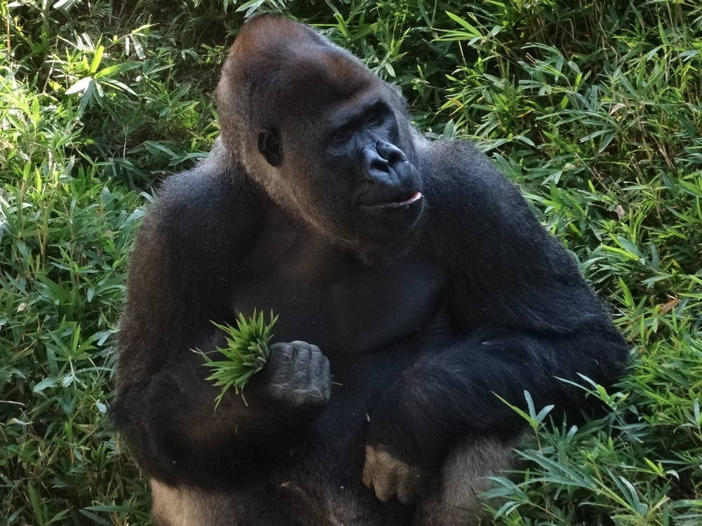 Baraka, a gorilla who resides at the National Zoological Park in Washington, DC. Photo by Sarah Groeneveld. Click to enlarge.