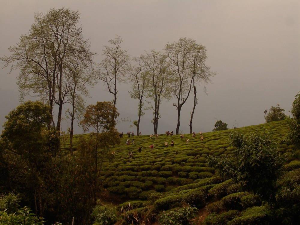 A Darjeeling tea plantation. (Photo by author.)