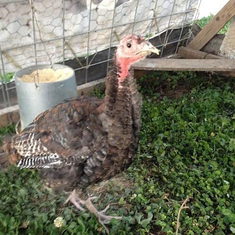 Champion the turkey