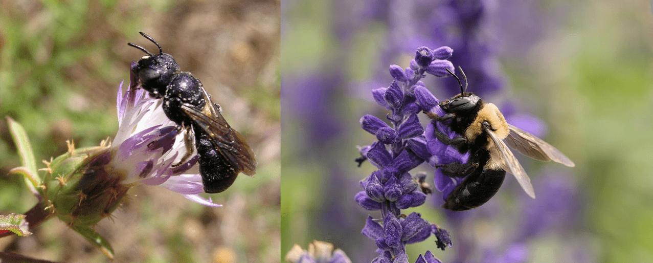 Left: Ceratina chalcites, Nigel Jones, CC BY-NC-ND 2.0. Right: Xylocopa virginica, Daniel Schwen, CC BY-SA 4.0.