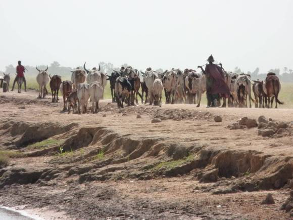 Fulɓe herder with his herd along the banks of a channel leading to Tenenkou port. Photography by Pierre Hiernaux on November 4, 2014. Image used with kind permission.