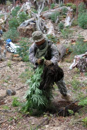 A member of the California National Guard Counterdrug Task Force destroys a cannabis plant on an illegalgrow site in Humboldt County. Image by Spc. Brianne Roudebush, U.S. Army National Guard, 2014.