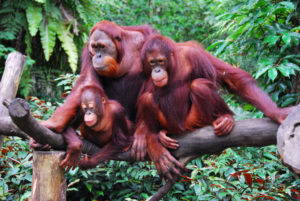 """A family of orangutan, April 2008. Image by Robert Young via <a href=""""https://www.flickr.com/photos/robertpaulyoung/2955047300#"""" target=""""_blank"""">Flickr</a>."""