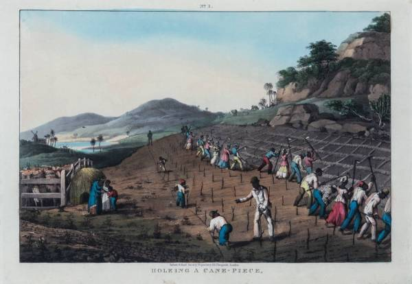 A sugar field with dozens of enslaved people in red and blue clothing hoeing plots and planting cane.