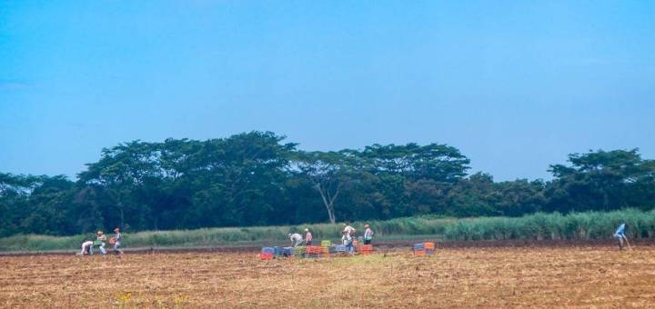 Sugarcane workers in a field in Nicaragua