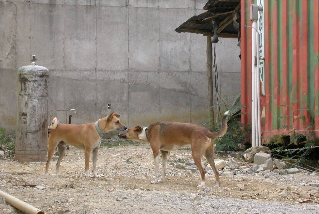 Two brown dogs face each other and try to smell each other. Their tails are wagging.