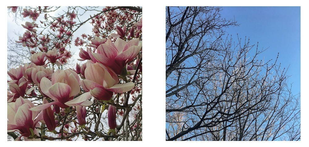 Two images placed side by side. The first shows a close-up image of pink and white magnolia tree flowers. The second image shows buds on the branch tips of that same tree the day before.
