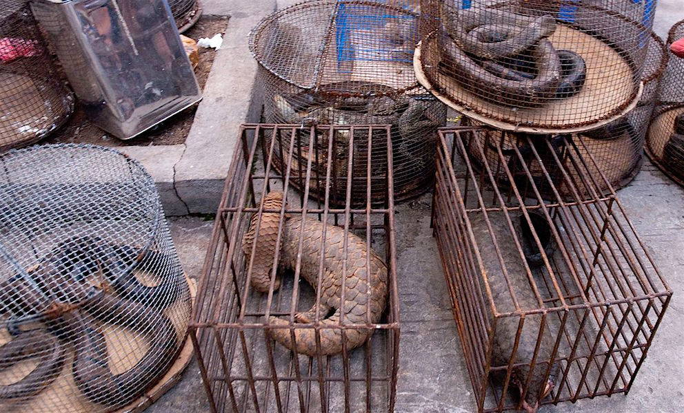 Two small cages house pangolins, small scaly creatures in the foreground. Individual snakes fill small round cages stacked to the side and on top of the pangolins, all most likely victims of poaching.