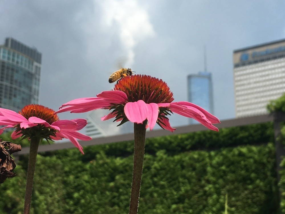 A bee rests on a pink echinacea flower, as smoke rises from the city in the background.