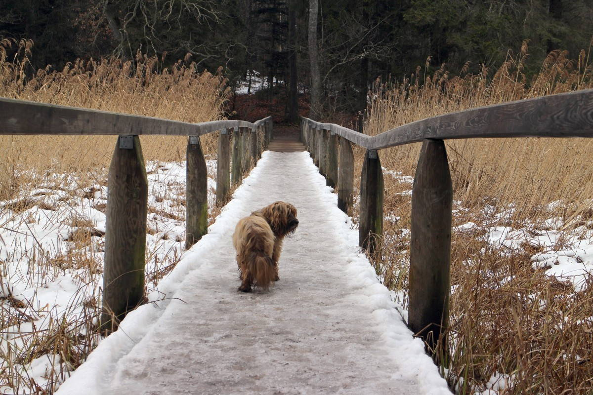 A shaggy, brown dog stands on a snowy bridge and looks backward at the camera.