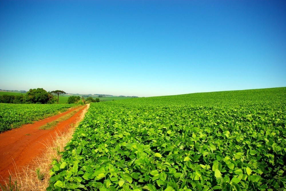 Soybean fields on a sunny day with a dirt road.