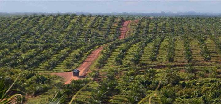 A red dirt road through the planted rows of the Sime Darby plantation