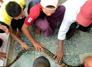 Several young men reach out and touch a Burmese python as it moves along a tile floor.