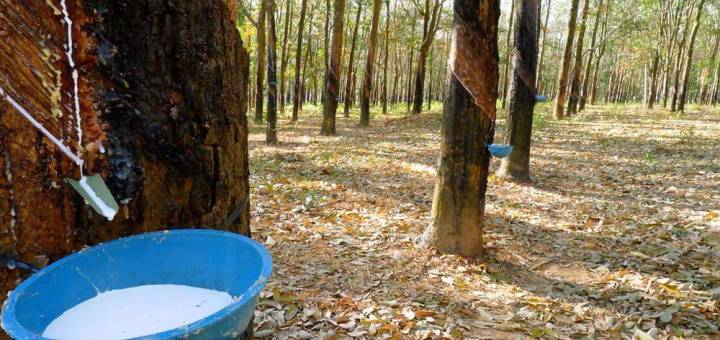 A blue bucket attached to a rubber tree