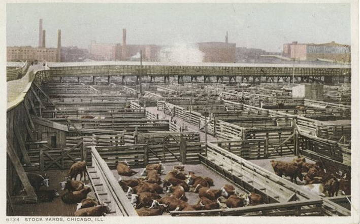 A postcard illustrating the Union Stock Yards and cattle in Chicago
